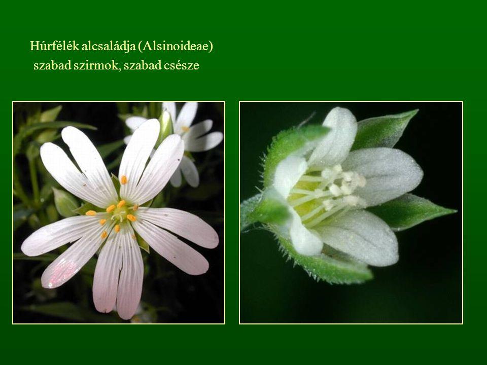 Húrfélék alcsaládja (Alsinoideae) szabad szirmok, szabad csésze