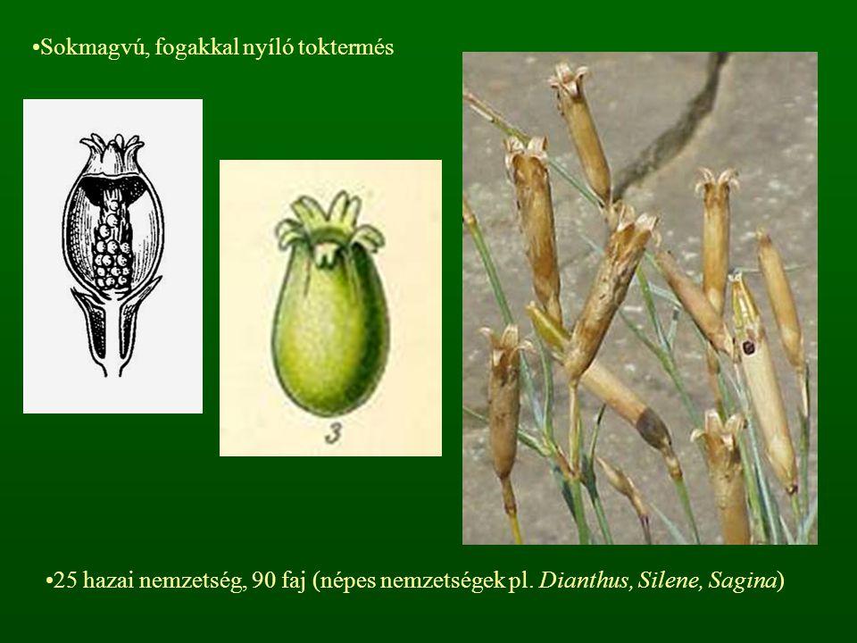 Sokmagvú, fogakkal nyíló toktermés 25 hazai nemzetség, 90 faj (népes nemzetségek pl. Dianthus, Silene, Sagina)