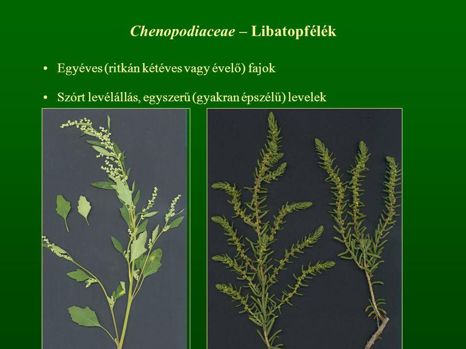 Chenopodiaceae – Libatopfélék Egyéves (ritkán kétéves vagy évelő) fajok Szórt levélállás, egyszerű (gyakran épszélű) levelek