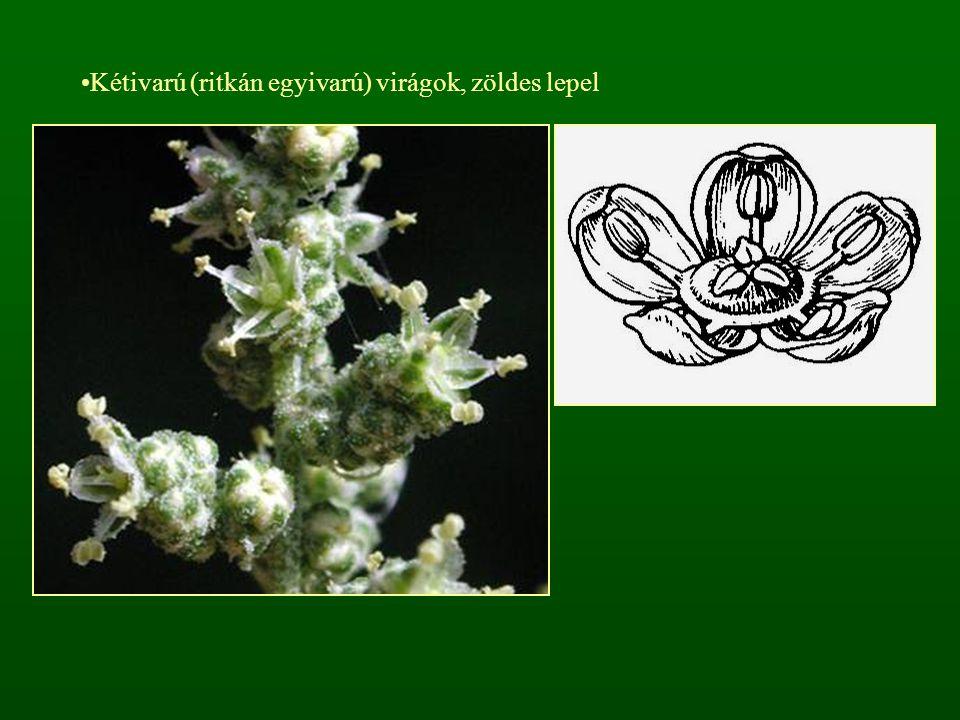 Kétivarú (ritkán egyivarú) virágok, zöldes lepel