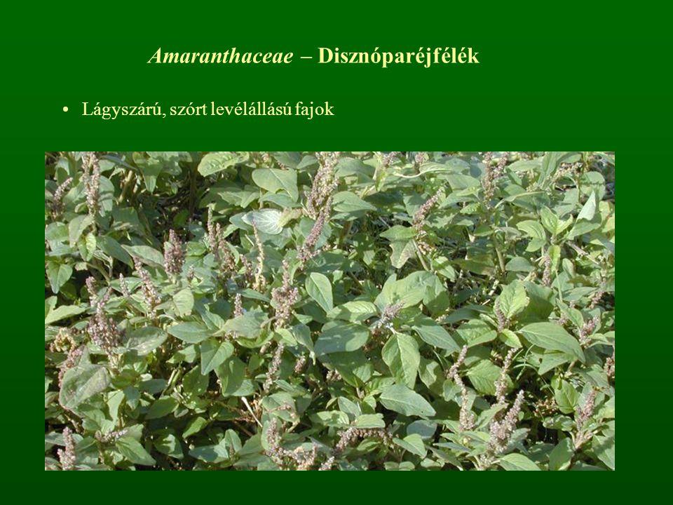 Amaranthaceae – Disznóparéjfélék Lágyszárú, szórt levélállású fajok