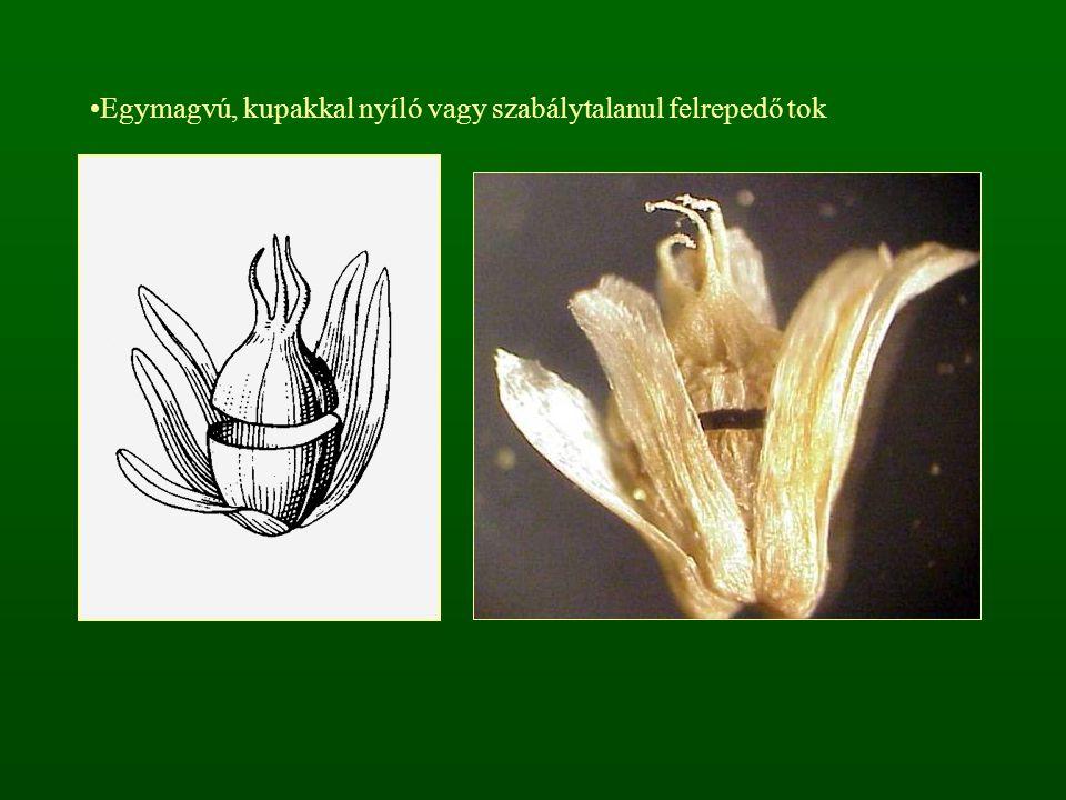 Egymagvú, kupakkal nyíló vagy szabálytalanul felrepedő tok