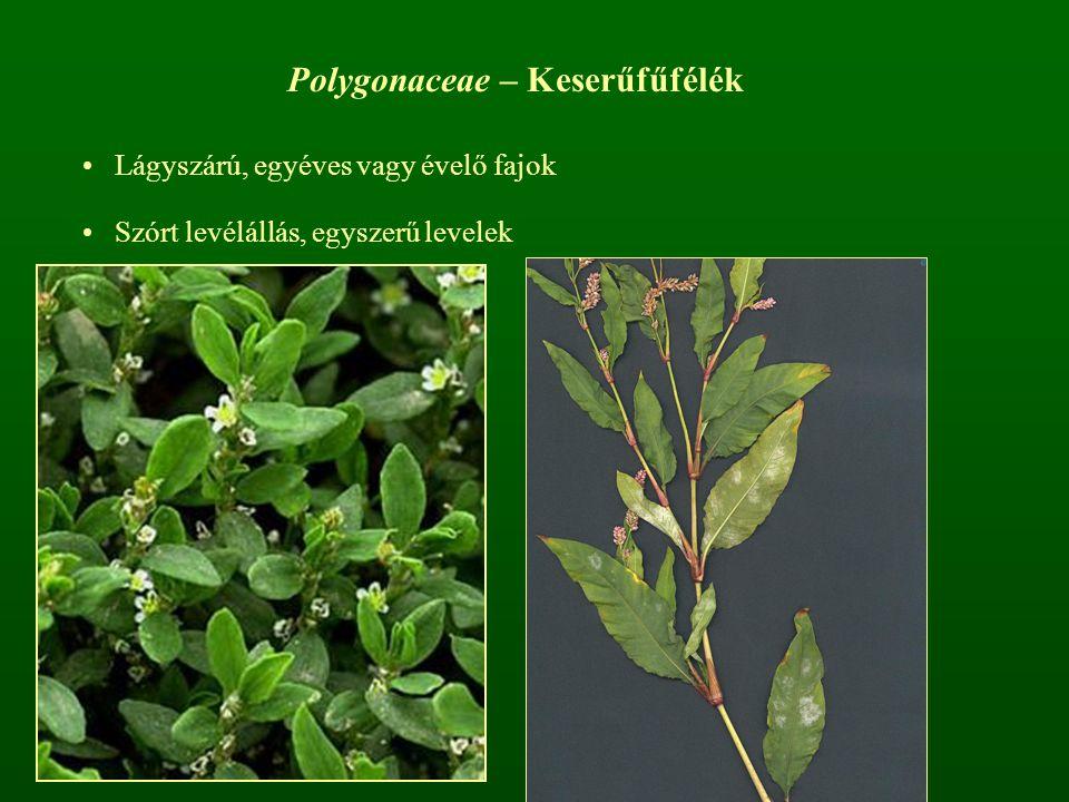 Polygonaceae – Keserűfűfélék Lágyszárú, egyéves vagy évelő fajok Szórt levélállás, egyszerű levelek