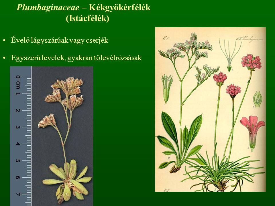 Plumbaginaceae – Kékgyökérfélék (Istácfélék) Évelő lágyszárúak vagy cserjék Egyszerű levelek, gyakran tőlevélrózsásak