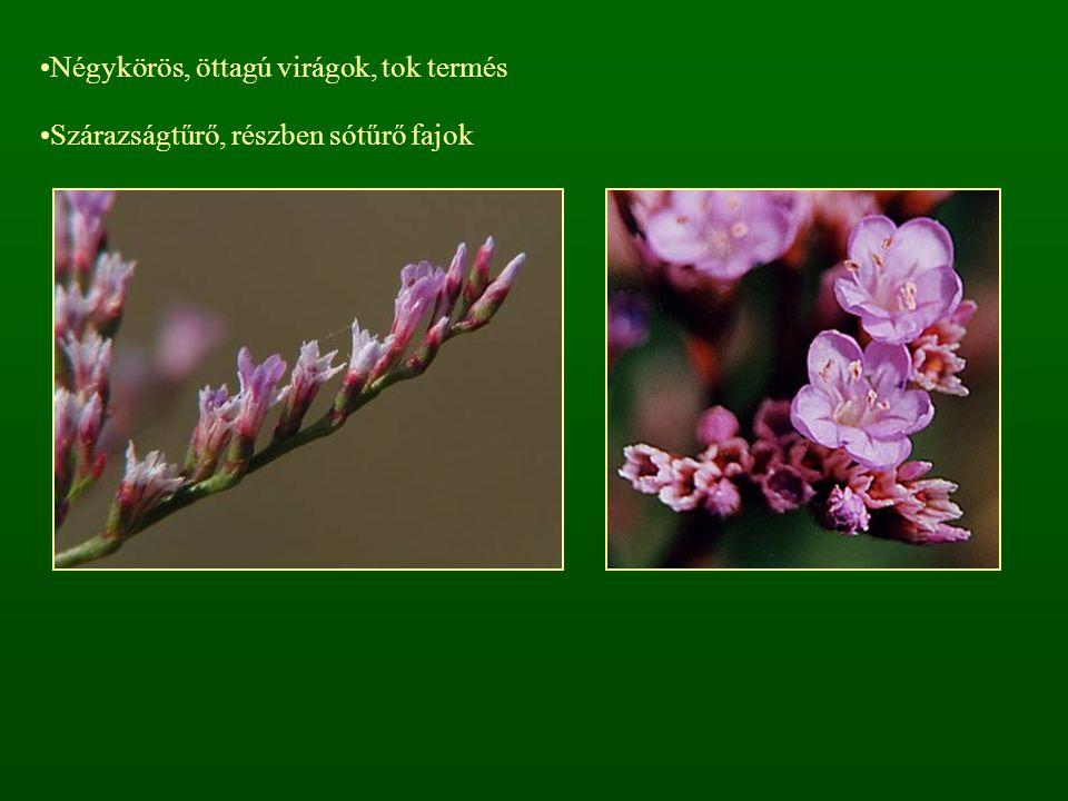 Négykörös, öttagú virágok, tok termés Szárazságtűrő, részben sótűrő fajok
