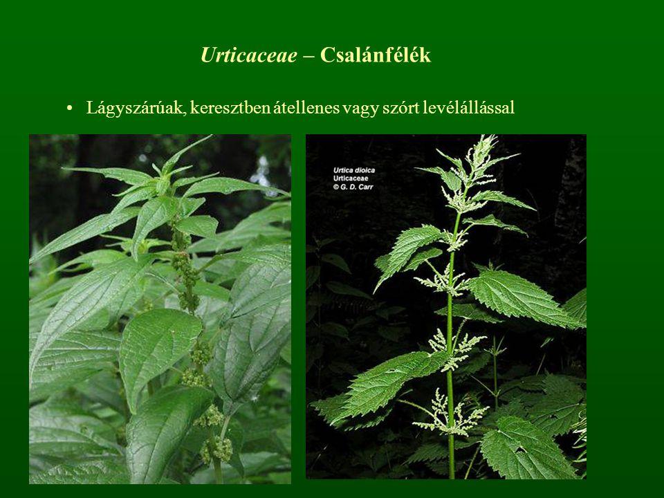 Urticaceae – Csalánfélék Lágyszárúak, keresztben átellenes vagy szórt levélállással