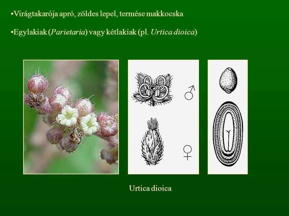 Virágtakarója apró, zöldes lepel, termése makkocska Egylakiak (Parietaria) vagy kétlakiak (pl. Urtica dioica) ♂ ♀ Urtica dioica