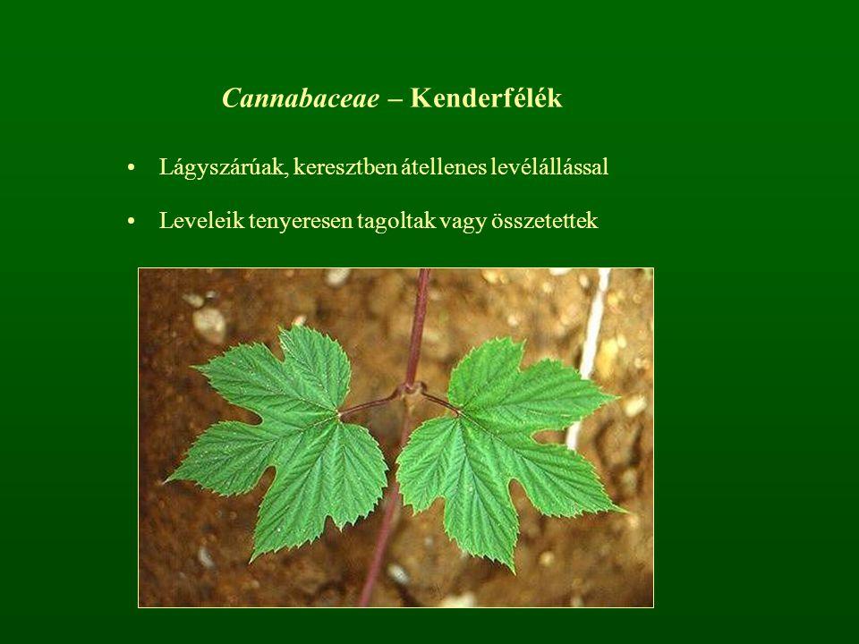 Cannabaceae – Kenderfélék Lágyszárúak, keresztben átellenes levélállással Leveleik tenyeresen tagoltak vagy összetettek