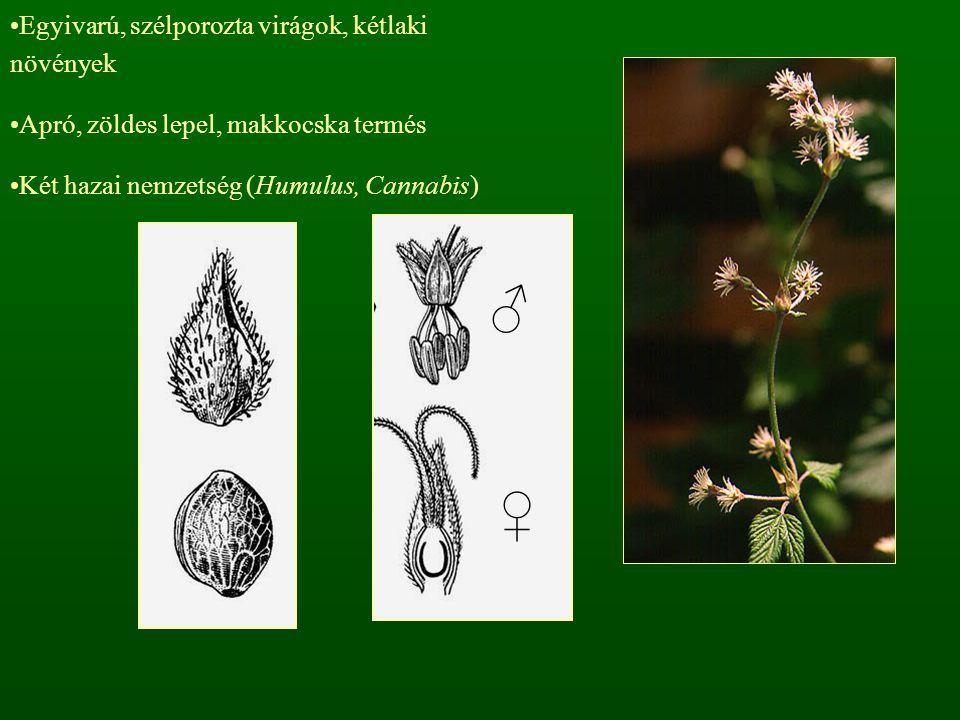 Egyivarú, szélporozta virágok, kétlaki növények Apró, zöldes lepel, makkocska termés Két hazai nemzetség (Humulus, Cannabis) ♂ ♀