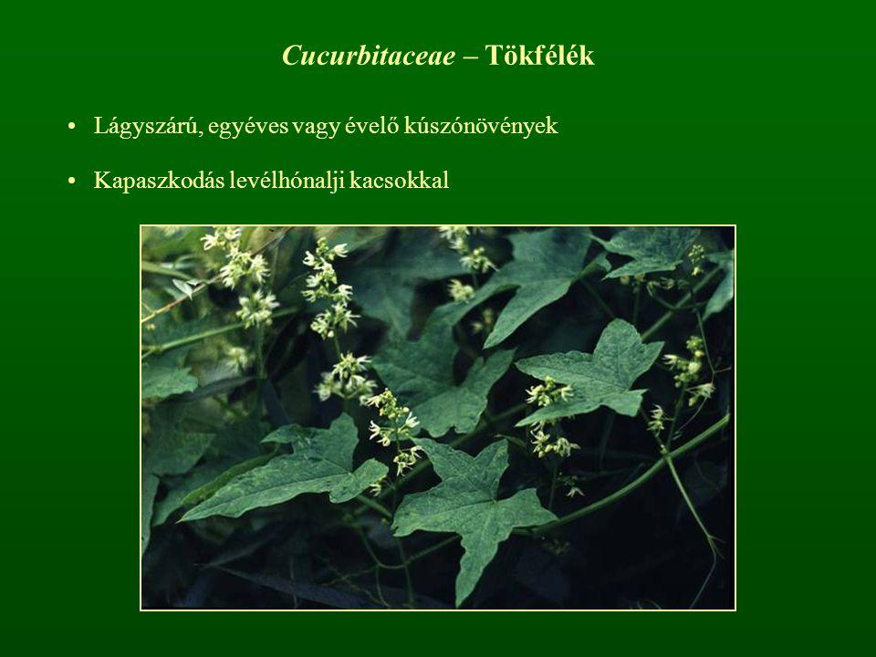 Cucurbitaceae – Tökfélék Lágyszárú, egyéves vagy évelő kúszónövények Kapaszkodás levélhónalji kacsokkal