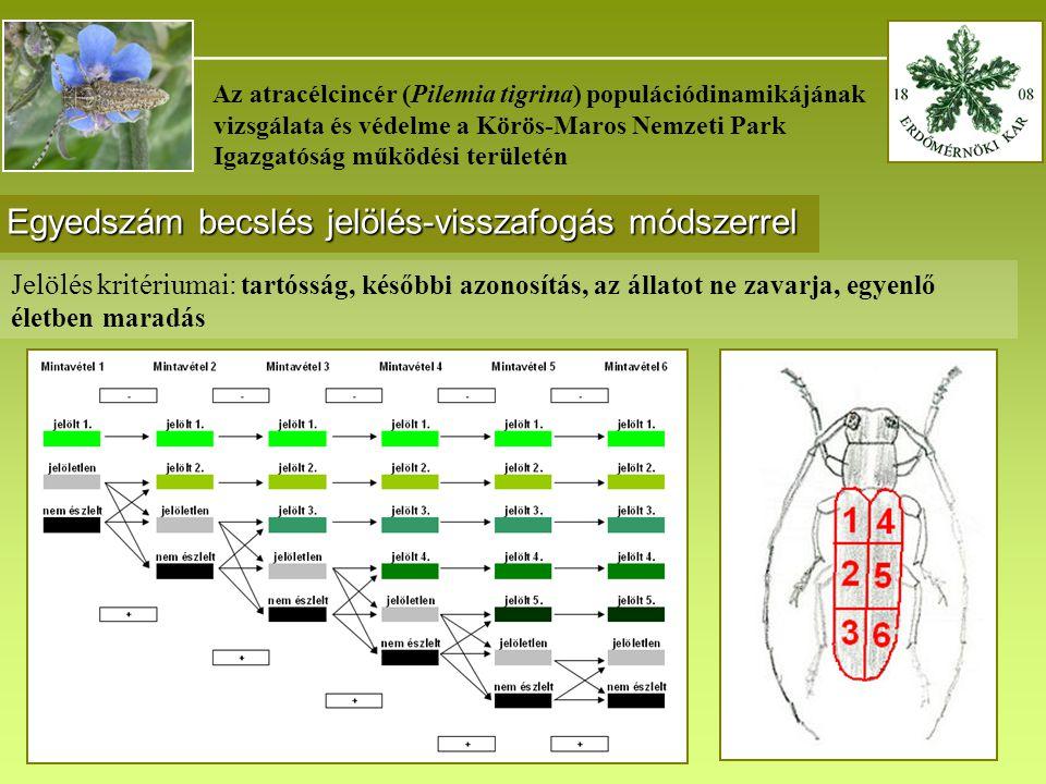 _______________________________________ Az atracélcincér (Pilemia tigrina) populációdinamikájának vizsgálata és védelme a Körös-Maros Nemzeti Park Igazgatóság működési területén Egyedszám becslés jelölés-visszafogás módszerrel Jelölés kritériumai: tartósság, későbbi azonosítás, az állatot ne zavarja, egyenlő életben maradás
