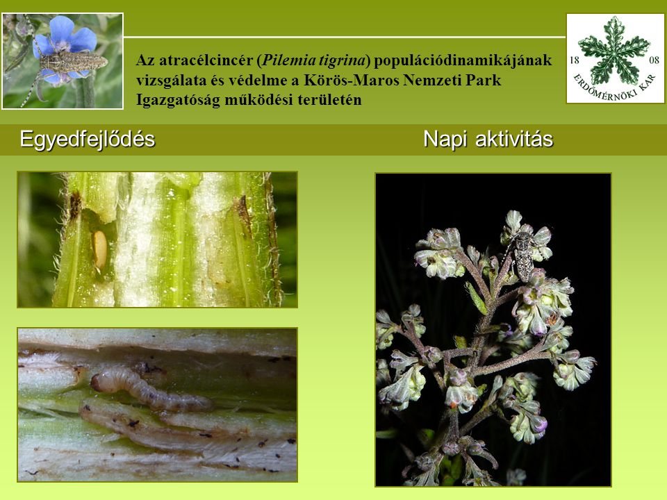 _______________________________________ Az atracélcincér (Pilemia tigrina) populációdinamikájának vizsgálata és védelme a Körös-Maros Nemzeti Park Igazgatóság működési területén Egyedfejlődés Napi aktivitás Egyedfejlődés Napi aktivitás