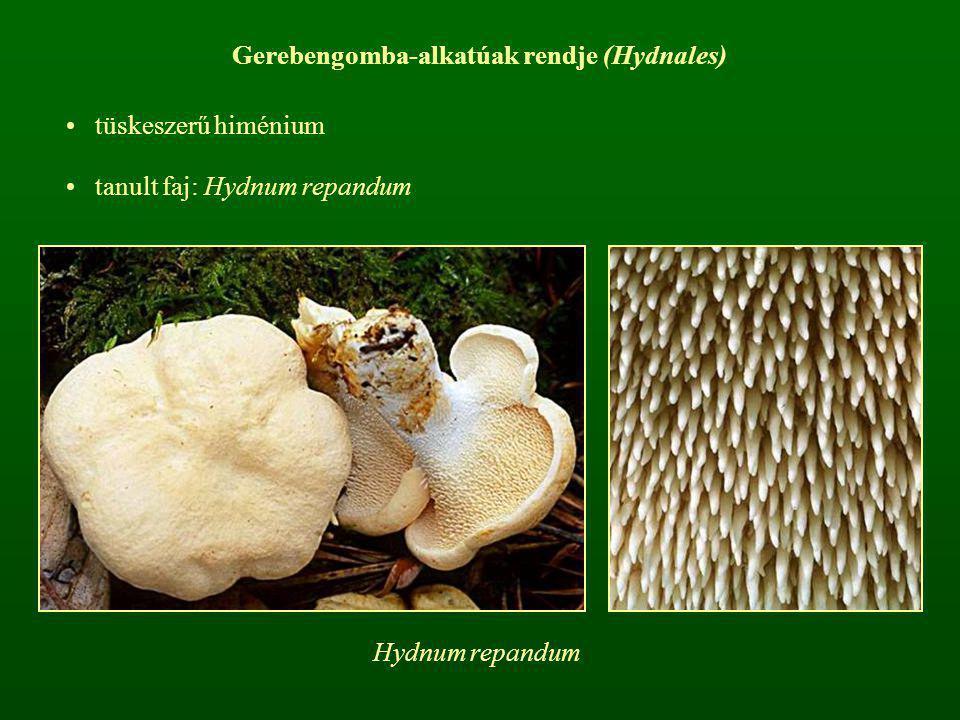 Gerebengomba-alkatúak rendje (Hydnales) tüskeszerű himénium tanult faj: Hydnum repandum Hydnum repandum