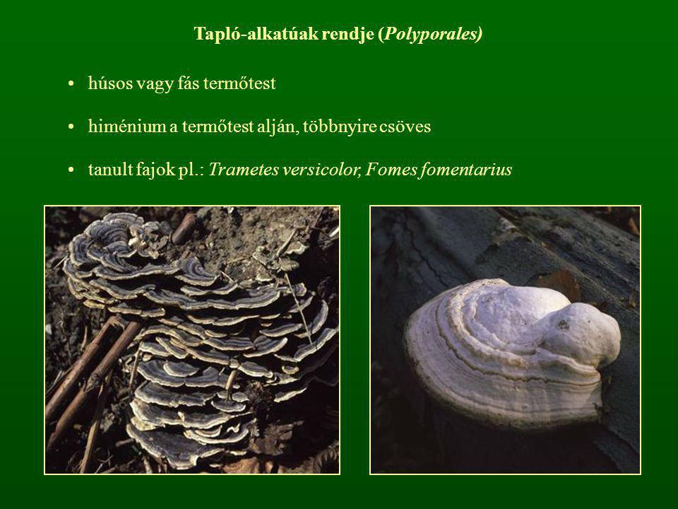 Tapló-alkatúak rendje (Polyporales) húsos vagy fás termőtest himénium a termőtest alján, többnyire csöves tanult fajok pl.: Trametes versicolor, Fomes