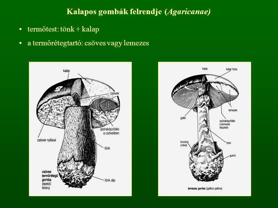 Kalapos gombák felrendje (Agaricanae) termőtest: tönk + kalap a termőrétegtartó: csöves vagy lemezes