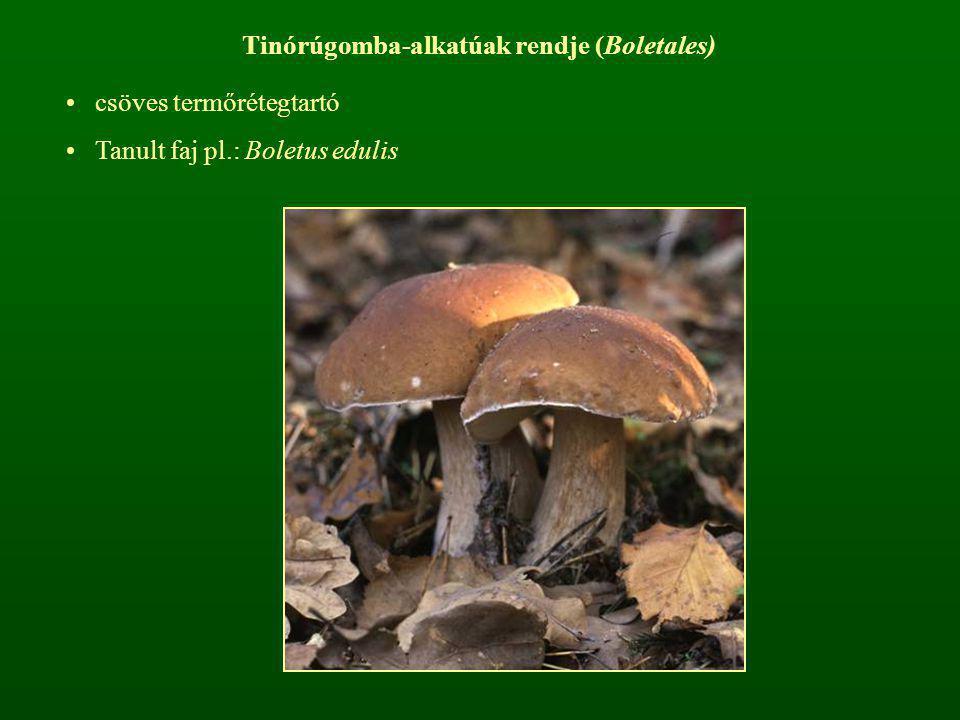 Tinórúgomba-alkatúak rendje (Boletales) csöves termőrétegtartó Tanult faj pl.: Boletus edulis