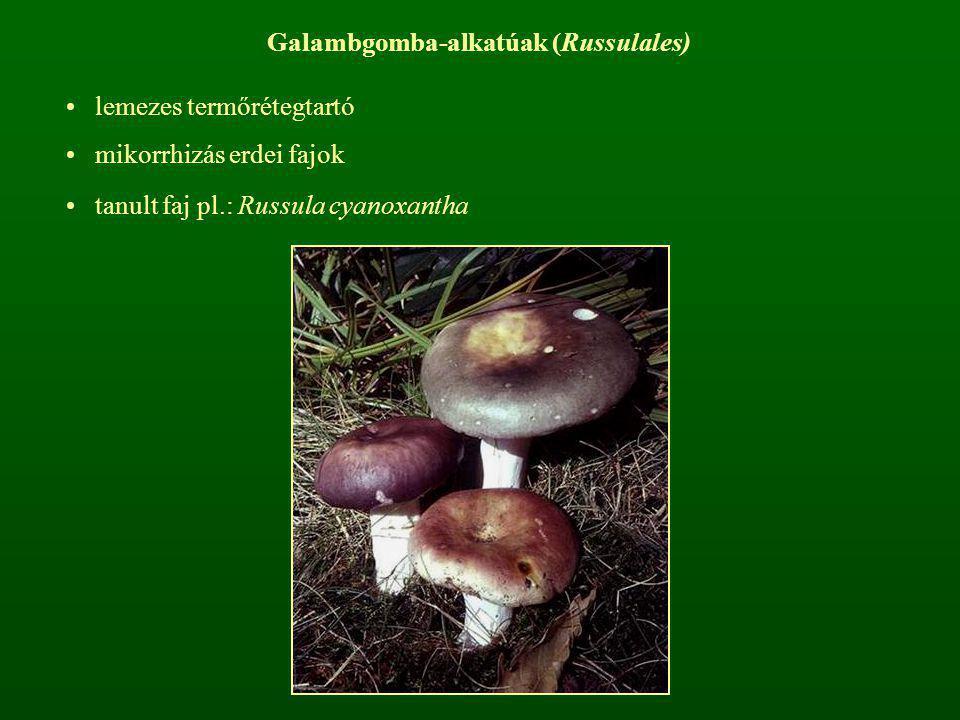 Galambgomba-alkatúak (Russulales) lemezes termőrétegtartó mikorrhizás erdei fajok tanult faj pl.: Russula cyanoxantha
