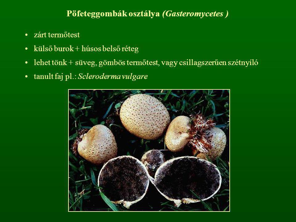 Pöfeteggombák osztálya (Gasteromycetes ) zárt termőtest külső burok + húsos belső réteg lehet tönk + süveg, gömbös termőtest, vagy csillagszerűen szét