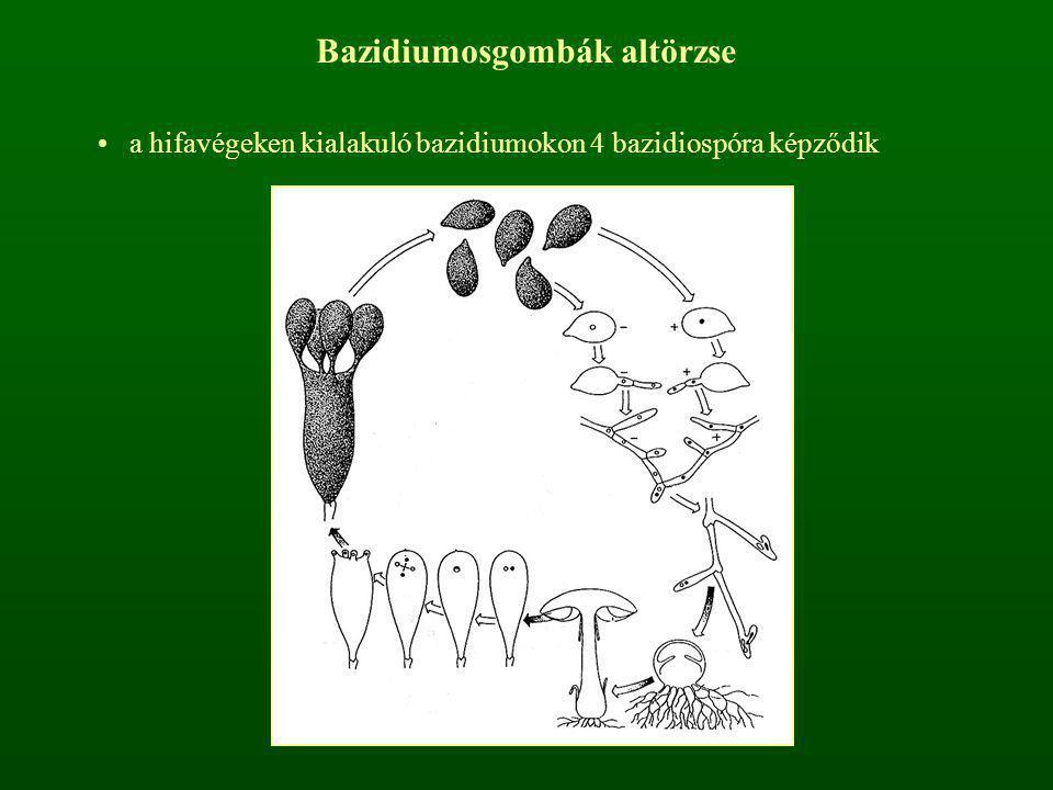 Bazidiumosgombák altörzse a hifavégeken kialakuló bazidiumokon 4 bazidiospóra képződik