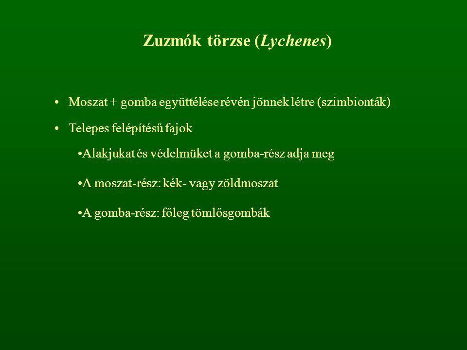Zuzmók törzse (Lychenes) Moszat + gomba együttélése révén jönnek létre (szimbionták) Telepes felépítésű fajok Alakjukat és védelmüket a gomba-rész adj