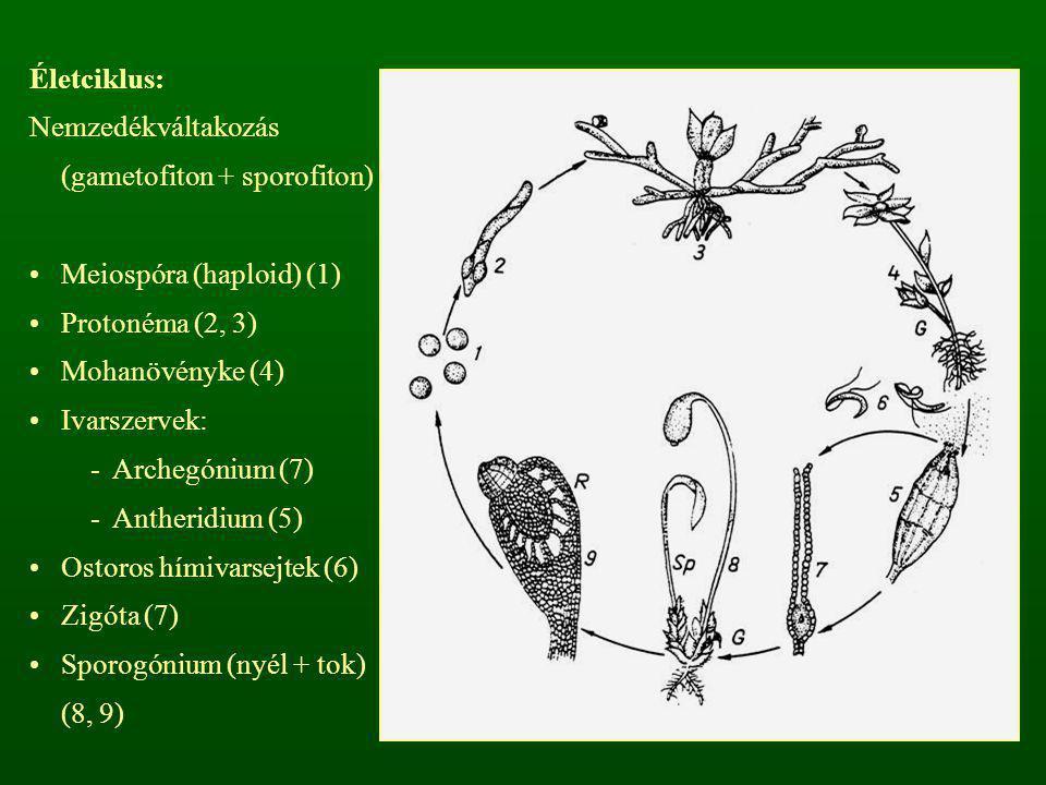 Életciklus: Nemzedékváltakozás (gametofiton + sporofiton) Meiospóra (haploid) (1) Protonéma (2, 3) Mohanövényke (4) Ivarszervek: -Archegónium (7) -Ant