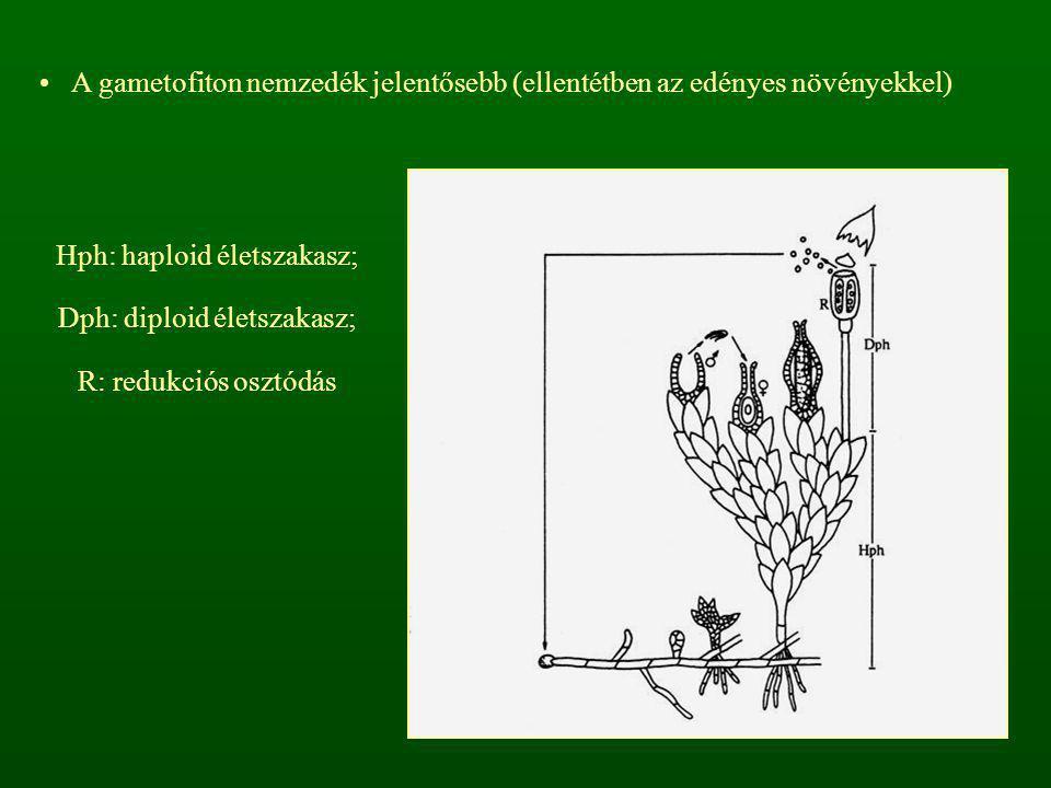 A gametofiton nemzedék jelentősebb (ellentétben az edényes növényekkel) Hph: haploid életszakasz; Dph: diploid életszakasz; R: redukciós osztódás
