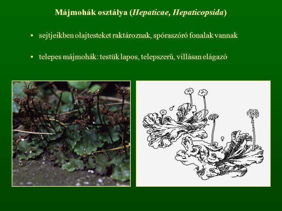 Májmohák osztálya (Hepaticae, Hepaticopsida) sejtjeikben olajtesteket raktároznak, spóraszóró fonalak vannak telepes májmohák: testük lapos, telepszer