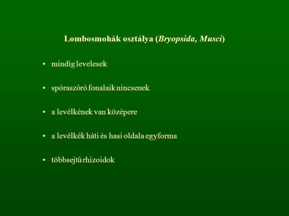 Lombosmohák osztálya (Bryopsida, Musci) mindig levelesek spóraszóró fonalaik nincsenek a levélkének van középere a levélkék háti és hasi oldala egyfor