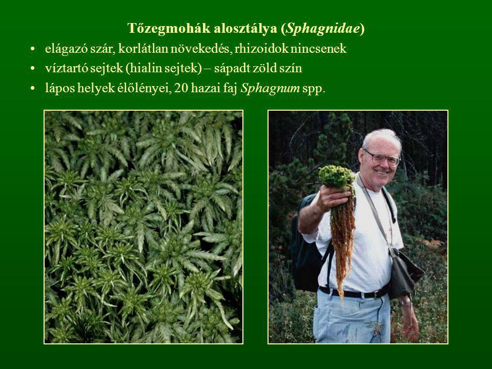Tőzegmohák alosztálya (Sphagnidae) elágazó szár, korlátlan növekedés, rhizoidok nincsenek víztartó sejtek (hialin sejtek) – sápadt zöld szín lápos hel