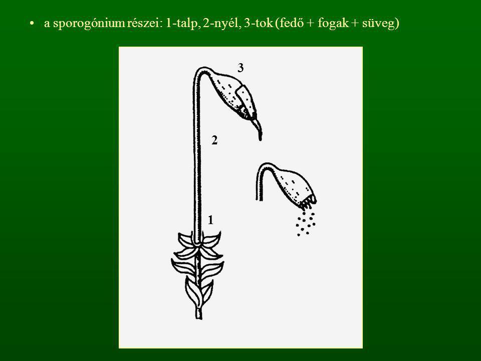a sporogónium részei: 1-talp, 2-nyél, 3-tok (fedő + fogak + süveg) 1 2 3