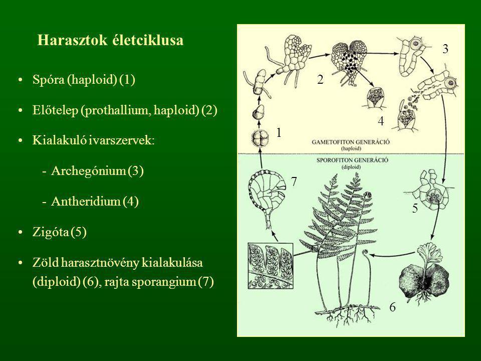 Spóra (haploid) (1) Előtelep (prothallium, haploid) (2) Kialakuló ivarszervek: -Archegónium (3) -Antheridium (4) Zigóta (5) Zöld harasztnövény kialaku