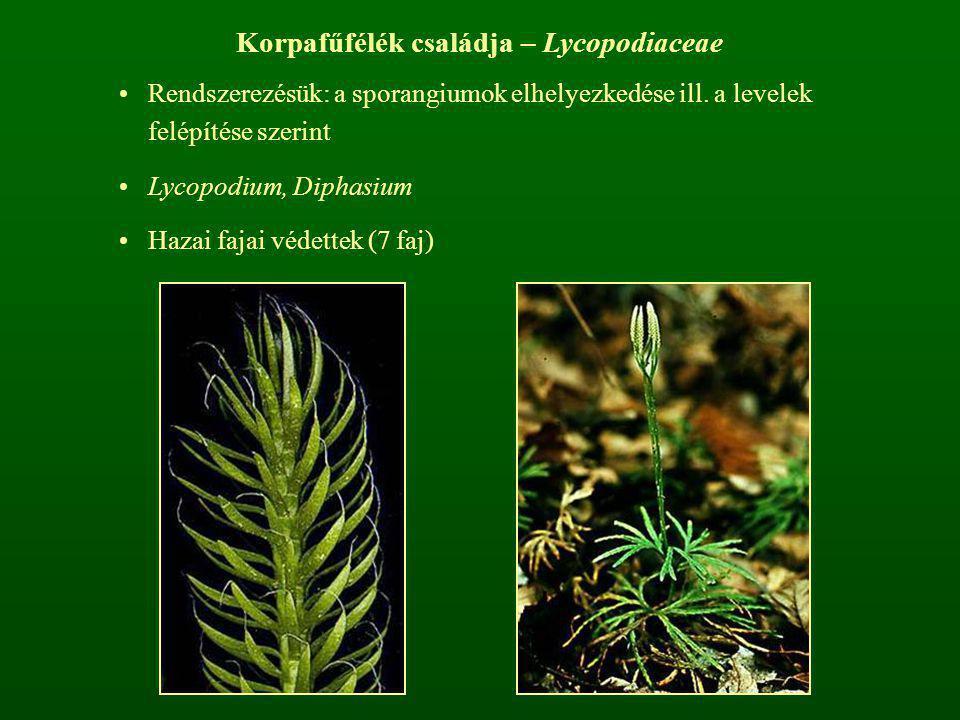Korpafűfélék családja – Lycopodiaceae Rendszerezésük: a sporangiumok elhelyezkedése ill. a levelek felépítése szerint Lycopodium, Diphasium Hazai faja