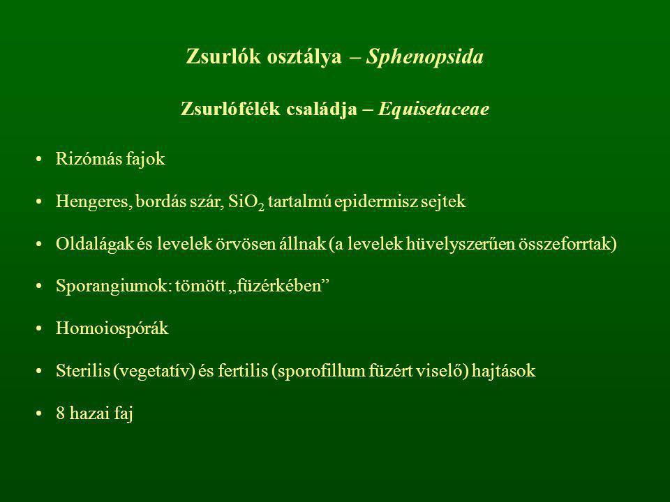 Zsurlók osztálya – Sphenopsida Zsurlófélék családja – Equisetaceae Rizómás fajok Hengeres, bordás szár, SiO 2 tartalmú epidermisz sejtek Oldalágak és
