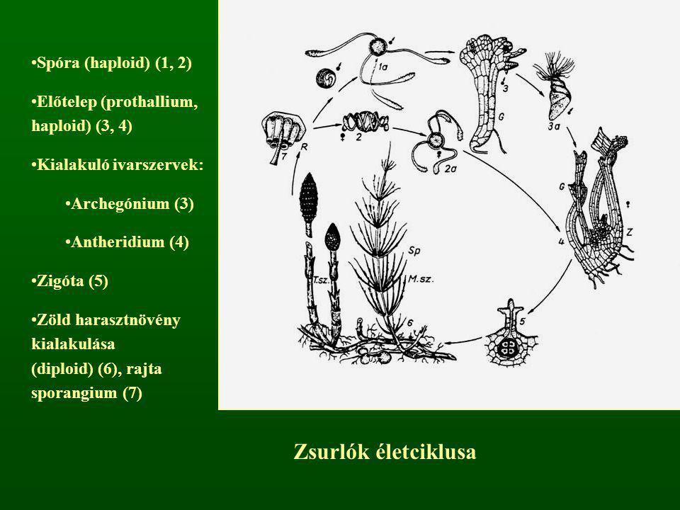 Zsurlók életciklusa Spóra (haploid) (1, 2) Előtelep (prothallium, haploid) (3, 4) Kialakuló ivarszervek: Archegónium (3) Antheridium (4) Zigóta (5) Zö