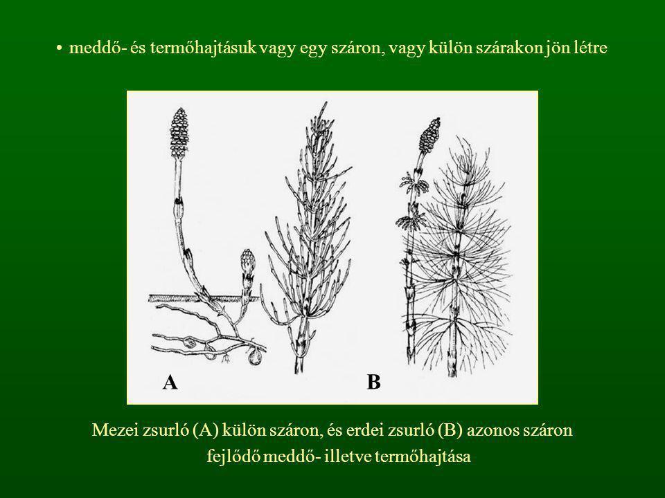 meddő- és termőhajtásuk vagy egy száron, vagy külön szárakon jön létre Mezei zsurló (A) külön száron, és erdei zsurló (B) azonos száron fejlődő meddő-