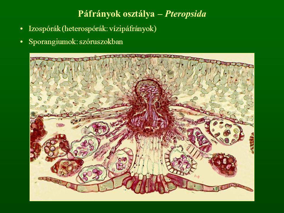 Páfrányok osztálya – Pteropsida Izospórák (heterospórák: vízipáfrányok) Sporangiumok: szóruszokban