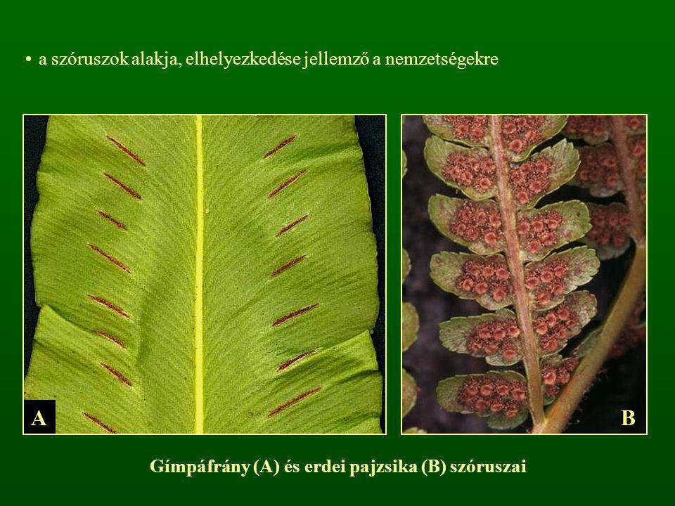 a szóruszok alakja, elhelyezkedése jellemző a nemzetségekre Gímpáfrány (A) és erdei pajzsika (B) szóruszai AB