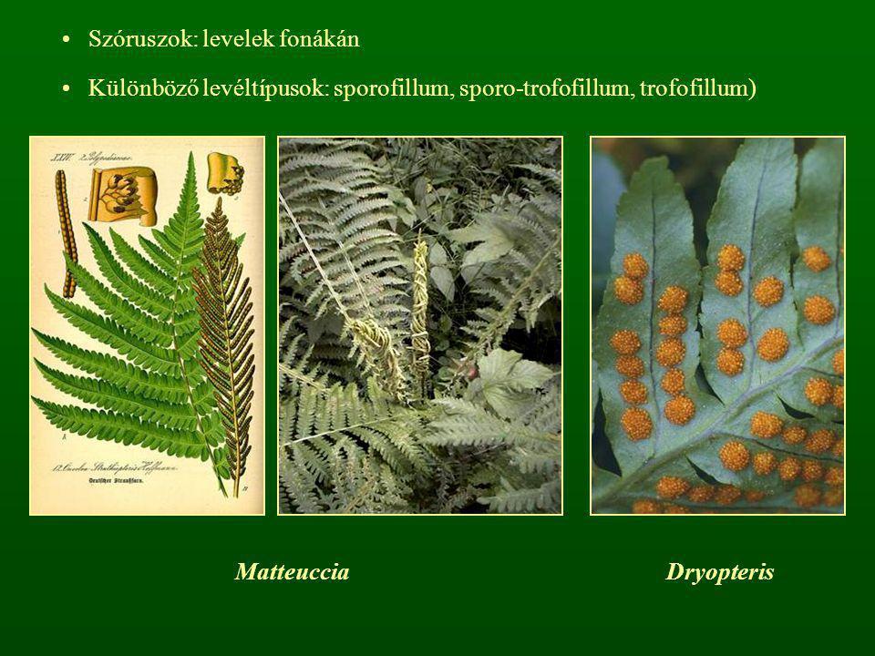 Szóruszok: levelek fonákán Különböző levéltípusok: sporofillum, sporo-trofofillum, trofofillum) MatteucciaDryopteris