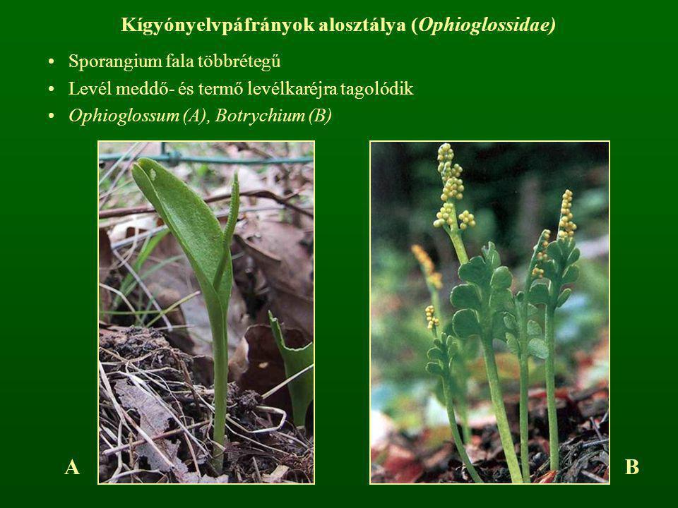 Kígyónyelvpáfrányok alosztálya (Ophioglossidae) Sporangium fala többrétegű Levél meddő- és termő levélkaréjra tagolódik Ophioglossum (A), Botrychium (