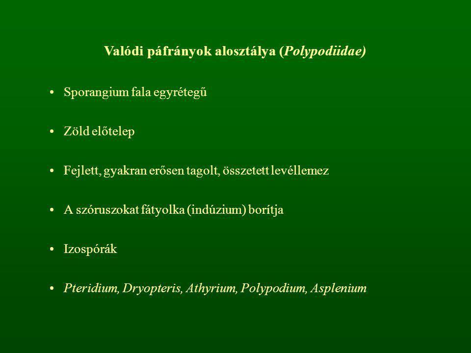Valódi páfrányok alosztálya (Polypodiidae) Sporangium fala egyrétegű Zöld előtelep Fejlett, gyakran erősen tagolt, összetett levéllemez A szóruszokat