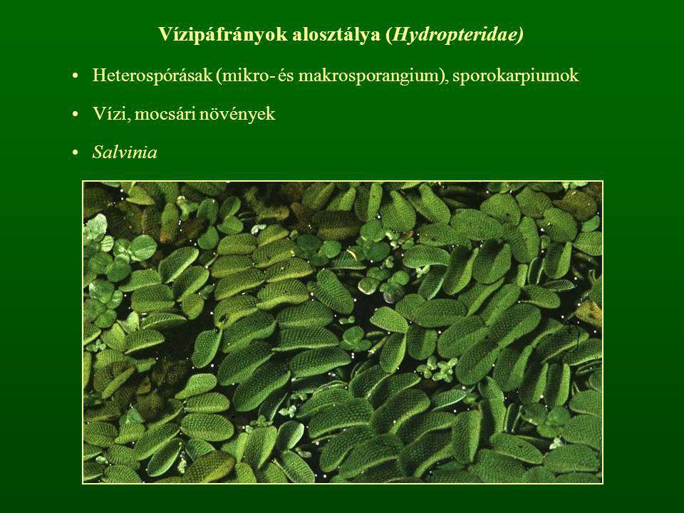 Vízipáfrányok alosztálya (Hydropteridae) Heterospórásak (mikro- és makrosporangium), sporokarpiumok Vízi, mocsári növények Salvinia