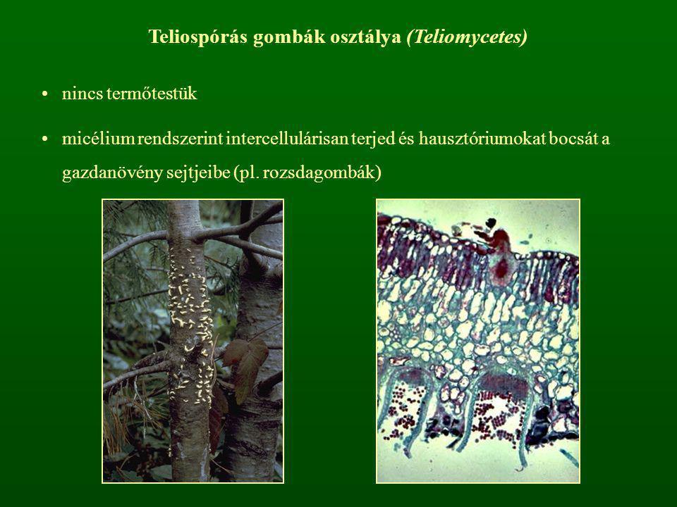 Teliospórás gombák osztálya (Teliomycetes) nincs termőtestük micélium rendszerint intercellulárisan terjed és hausztóriumokat bocsát a gazdanövény sej