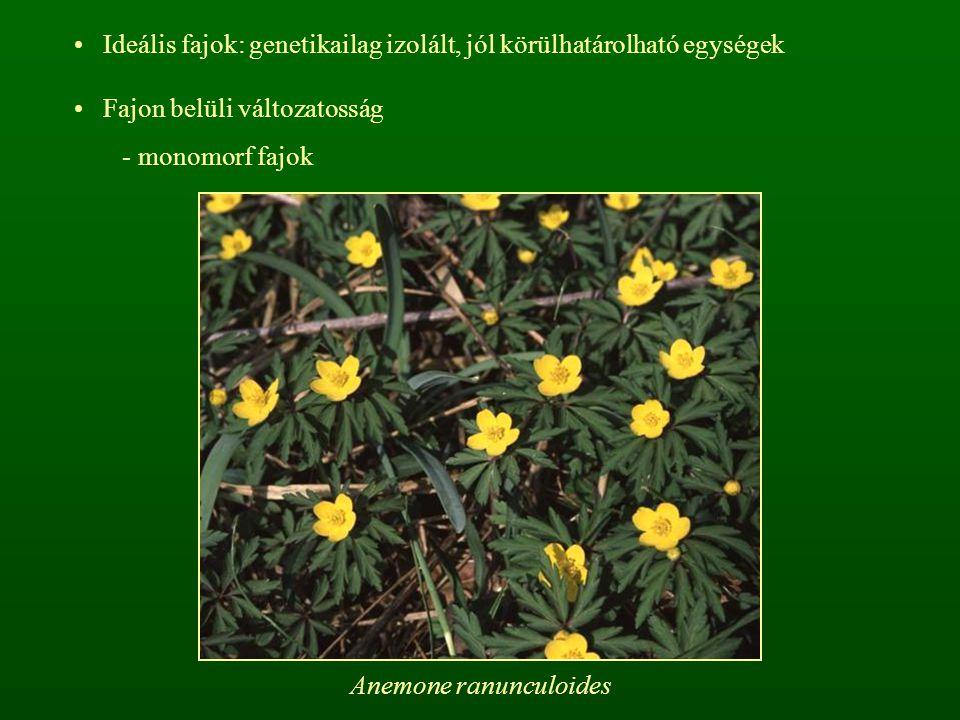 Ideális fajok: genetikailag izolált, jól körülhatárolható egységek Fajon belüli változatosság - monomorf fajok Anemone ranunculoides