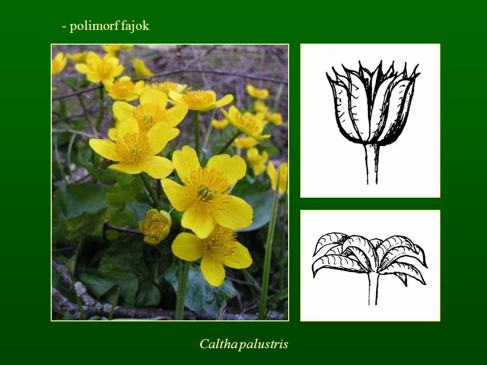 - polimorf fajok Caltha palustris