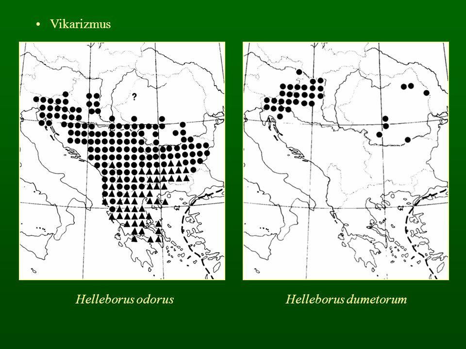 Vikarizmus Helleborus odorusHelleborus dumetorum