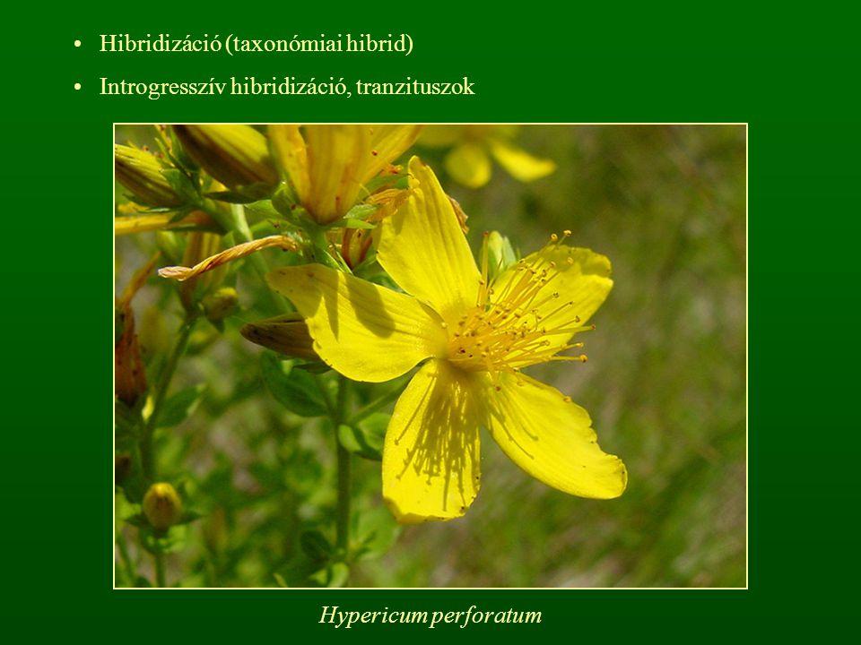Hibridizáció (taxonómiai hibrid) Introgresszív hibridizáció, tranzituszok Hypericum perforatum