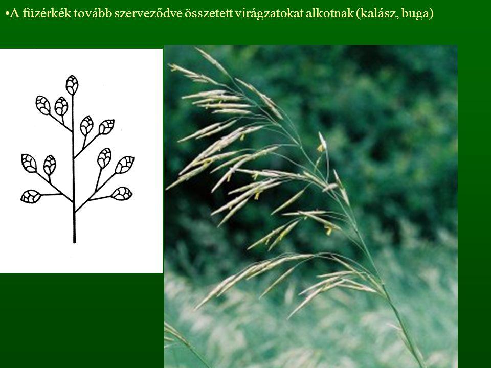 A füzérkék tovább szerveződve összetett virágzatokat alkotnak (kalász, buga)