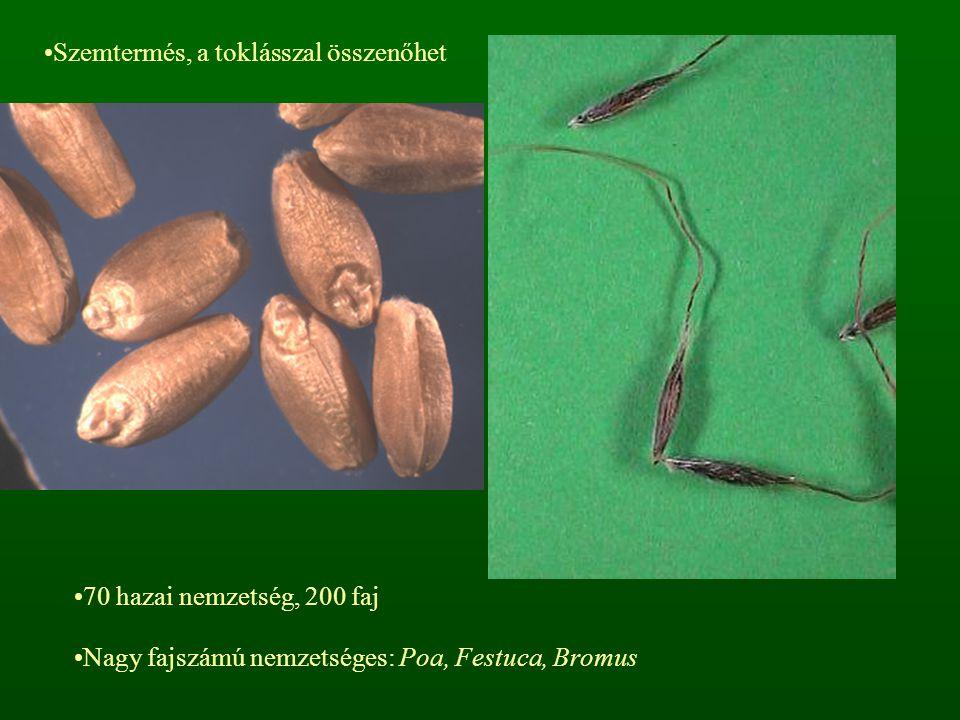 Szemtermés, a toklásszal összenőhet 70 hazai nemzetség, 200 faj Nagy fajszámú nemzetséges: Poa, Festuca, Bromus