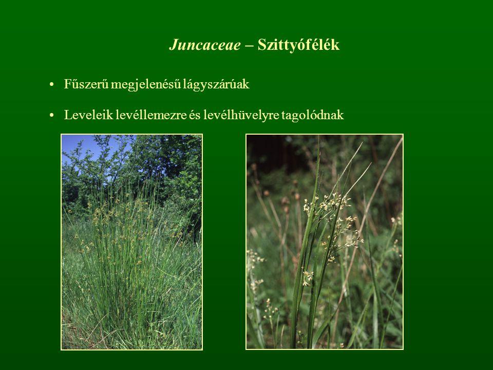 Juncaceae – Szittyófélék Fűszerű megjelenésű lágyszárúak Leveleik levéllemezre és levélhüvelyre tagolódnak