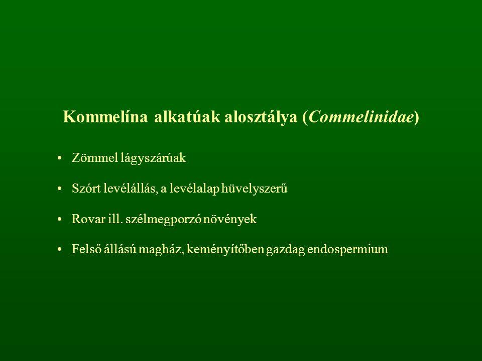 Kommelína alkatúak alosztálya (Commelinidae) Zömmel lágyszárúak Szórt levélállás, a levélalap hüvelyszerű Rovar ill. szélmegporzó növények Felső állás